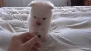 Cute White pomeranian Puppy Playing - Watching a Puppy Grow