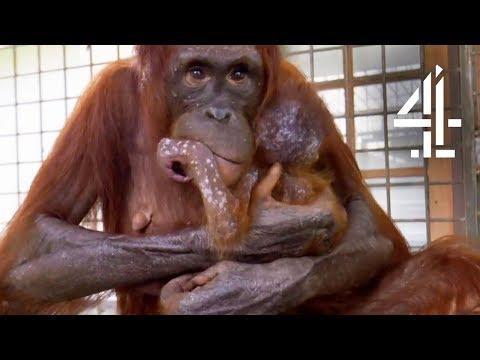 Mother Orangutan s Reunited With Her Kidnapped Daughter Orangutan Jungle School