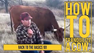 Tranquilizing a cow & treating hoof root.