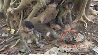 Babies monkey - Cute Baby Monkeys Play Ball and Playing With Teenager Monkey