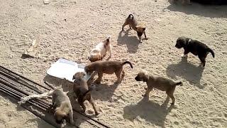 جراوي ماتت امهم اضطريت ان اطعمهم لحد ما كبروا Poor Puppies Lost Their Mom, & I had To Take Care Of T