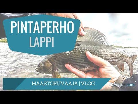 Isoa harjusta pintaperholla Lapissa kalassa