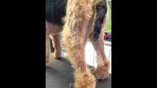 Airedale Pet Leg Trimming