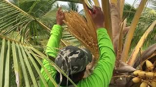 Coconut Breeding - Malaysian Agricultural Research & Development Institute (MARDI)