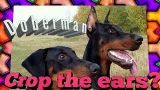 Doberman Cropped and Docked or Not? Ears and Tail crop and dock talk