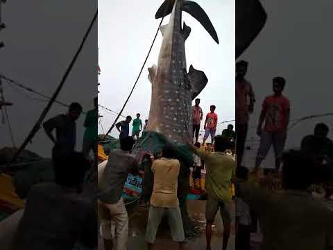 Xxx Mp4 Real Fishing Harbour XNX With Fresh Shark Shark Videos 3gp Sex