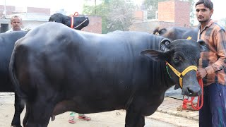 Show Quality 🏆 Murrah Bull and 1st Timer Buffalo 🐃 at a Farmer's Home. Alewa(Jind) Haryana