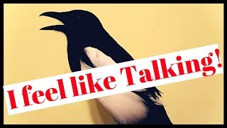 Magpie Is In A Talking Mood
