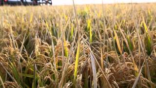 All About Australian Rice (Full Video)