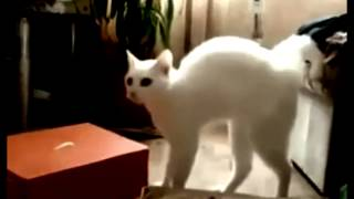 Weird scared white cat curving his back