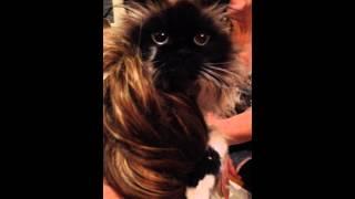 Shaving my Cat Muffin