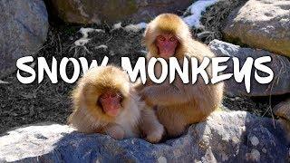 Snow Monkeys in Japan 5K Retina 60p (Ultra HD)