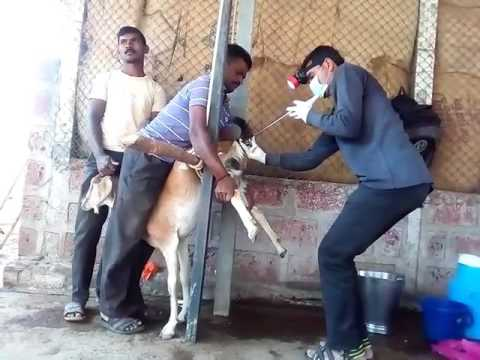 Xxx Mp4 Goat Farming Artificial Insemination 3gp Sex