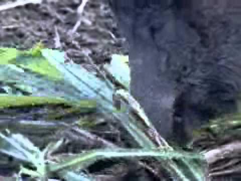 Ibama autoriza caça controlada do javali uma espécie exótica invadora que ataca plantaçõe