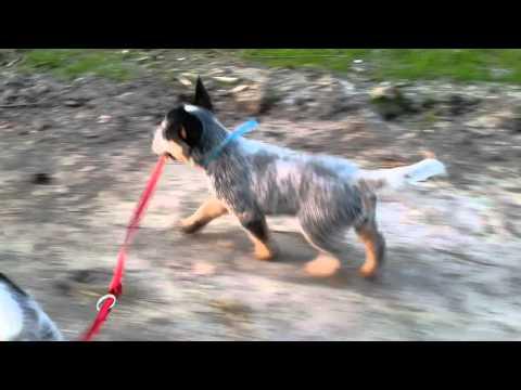 Dog of Guerra Bugari wyprowadza sie na smyczy. Sek 12 jakis strzal
