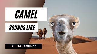 The Animal Sounds: Camel Moan - Sound Effect - Animation