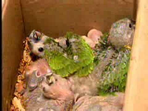 MS Record 1ª Edição PMA apreende 392 papagaios silvestres