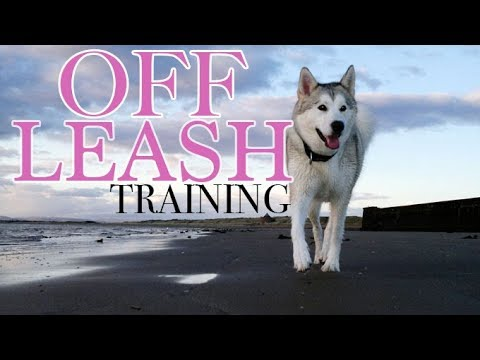 Teach Your Husky To Be Off Leash Forever 3 Easy Steps