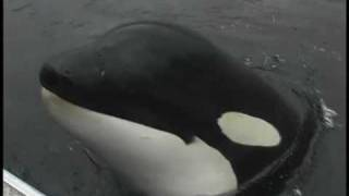 Luna, a wild orca, plays with his human friend
