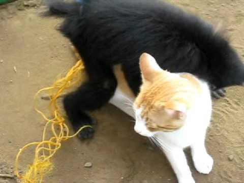 stella le singe et melina le chat s acouplent ; incroyable mais vrai