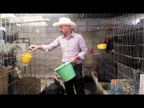 Gallera Mondragon alimentando a los gallos