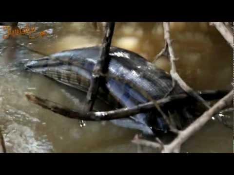 Anaconda Gigante Rio Turvo SP