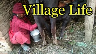 Buffalo Milking Village Life