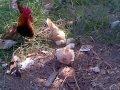 Download Ayam hias kate yang unik sedang mencari rezeki