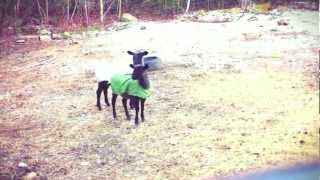 Rare Footage of Kentucky Screaming Goat! MUST WATCH!