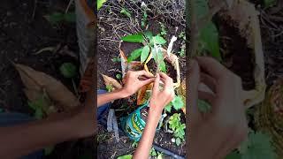 How to meka in mango grafting
