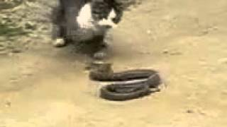 Cat is fighting to Sanake