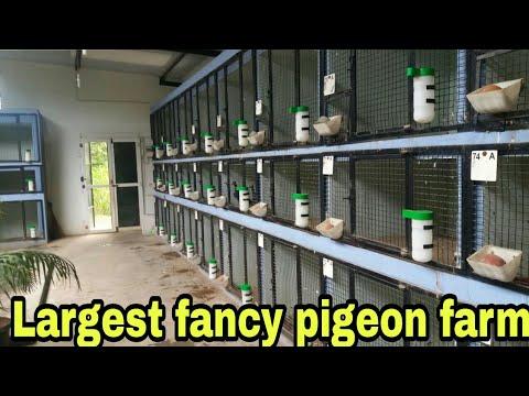 Xxx Mp4 INDIA LARGEST FANCY PIGEON FARM FANCY KABUTAR FARM 3gp Sex