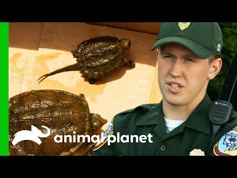 Rescuing Snapping Turtles and Investigating Illegal Owl Taxidermy North Woods Law