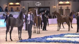 Dubai International Arabian Horse Championship 2016 -Day3