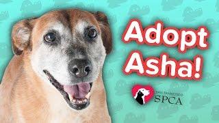 Adopt Asha! // Retriever Mix // Adoption Feature