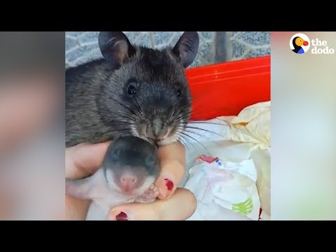 Rat Shows Off Her Baby To Human Mom | The Dodo