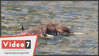 حصان متحلل يسبح في النيل أمام فنادق مصر الفاخرة