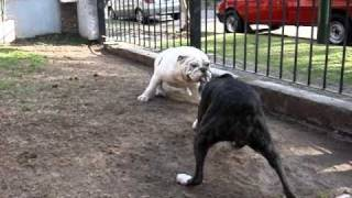 Bull dog ingles vs boxer