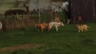 Borba pasa(DOGS FIGHT)