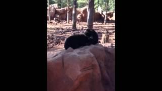 Bear gives a Bear a Blowjob