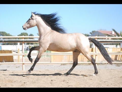GOLOSO caballo pura raza española caballo bayo pre spanish horse