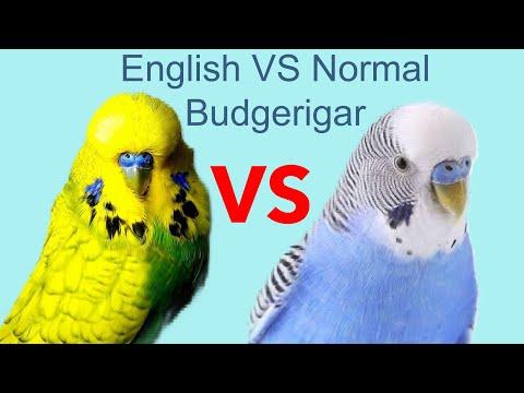 Xxx Mp4 English VS Normal Budgies ইংলিশ বাজ্রিগার ও নরমাল বাজ্রিগারের মধ্যে পার্থক্য কি HD Video 3gp Sex