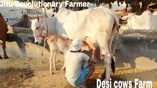 DESI COWS, Sahiwal, Gir, Red Sindhi & Hariyana cows are available for buyers- @ KHURANA DAIRY Rohtak