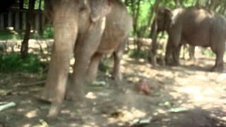 ElephantFeeding