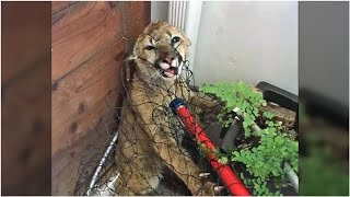 Mountain Lion Cubs Rescued In Half Moon Bay Recover At OaklandZoo