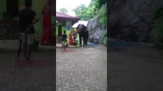 Sri Lankan elephant in sankapala