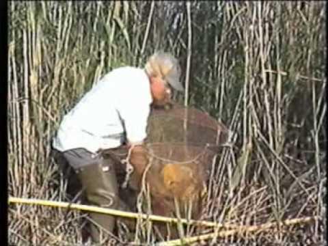 Pesca d anguila i cranc