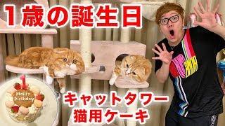 まるお&もふこ1歳の誕生日でキャットタワー2つと猫用ケーキをプレゼント!