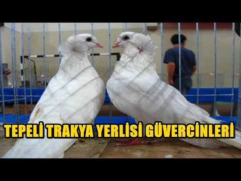 TEPELİ TRAKYA YERLİSİ GÜVERCİN VİDEOLARI - Tepeli Güvercin