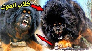 بالفيديو: أشرس وأخطر كلب في العالم - الكلب القوقازي يقضي عليك في 4 ثواني
